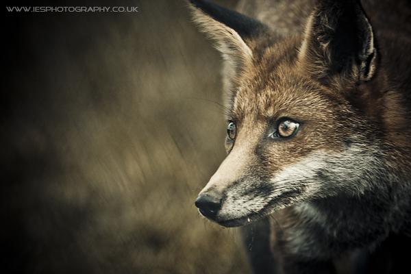 Fox - BWC