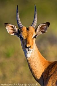 Antelope Face