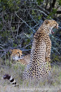 cheetah wm 200x300 South Africa 
