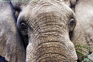 elephant face wm 300x200 South Africa 