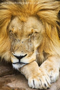 lion sleep wm 200x300 South Africa 