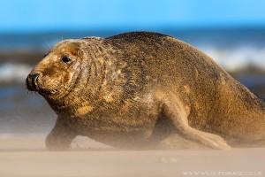 Donna Nook Seal
