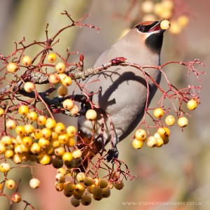 waxwings 17 300x300 Waxwings in the UK