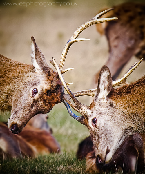 Rutting Deers