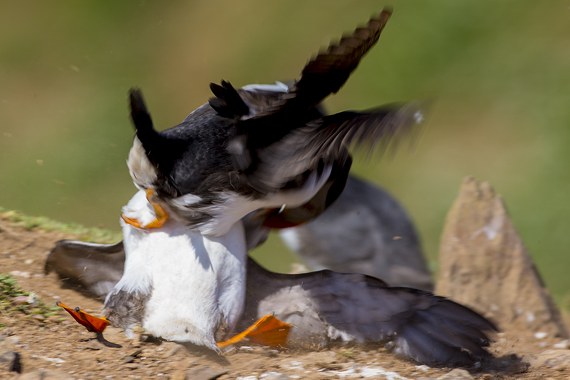 IMAGE: http://www.iesphotography.co.uk/fight_puffin.jpg